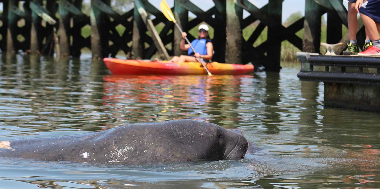 Manatee On Shem Creek