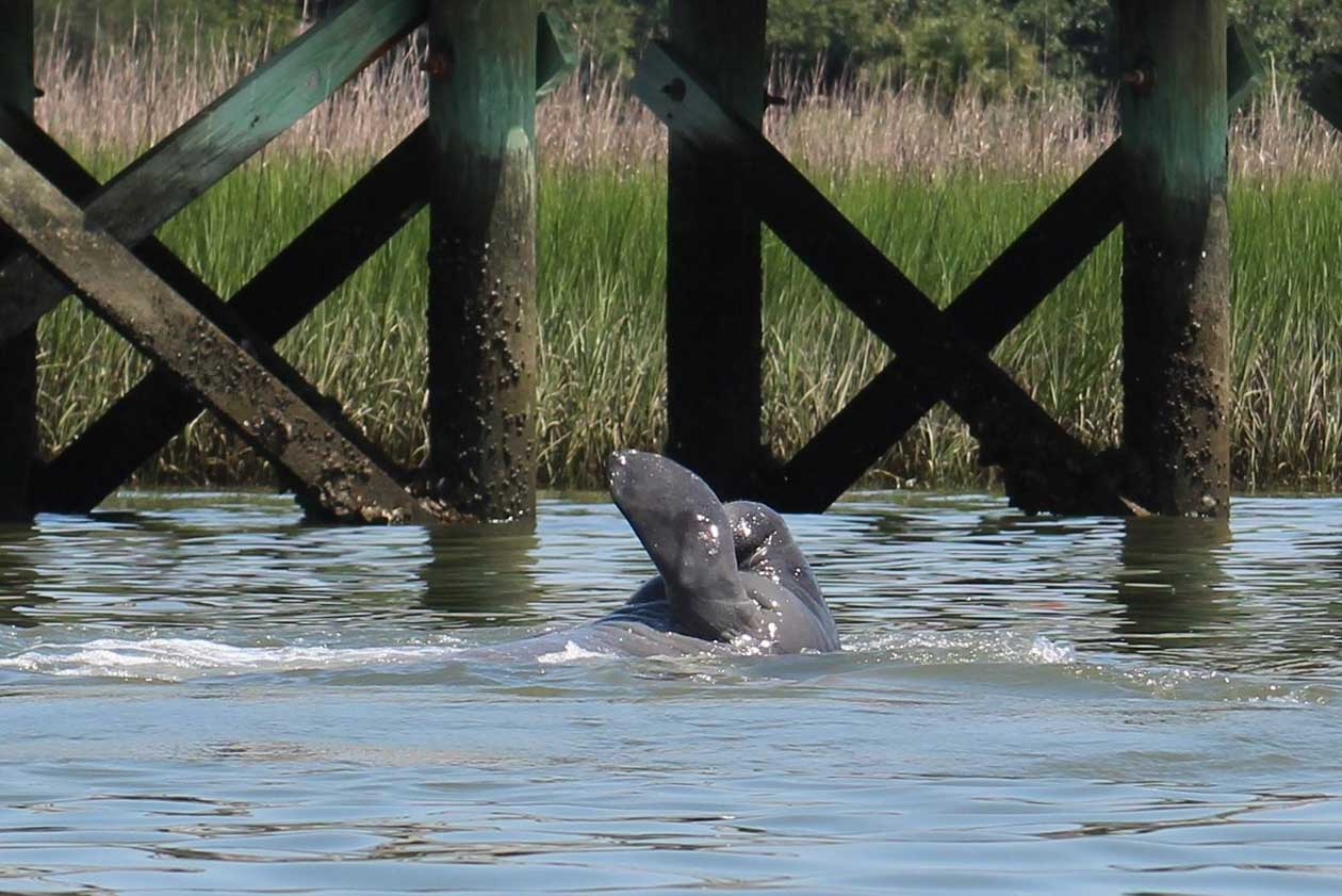 manatee swimming in shem creek